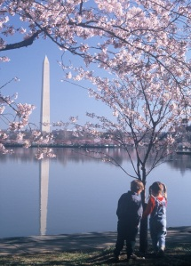 Washington Monument framed by Cherry Blossoms - very beautiful - from Washington, D.C. Cherry Blossom Festival press photos
