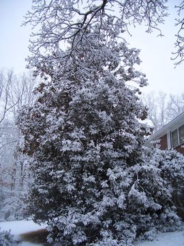 cricketdiane snow photo - Southern Magnolia laden with snow - Atlanta 2010
