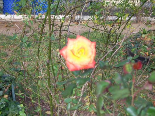 First Day Walking New York City cricketdiane - a perfect rose blossoming in New York City