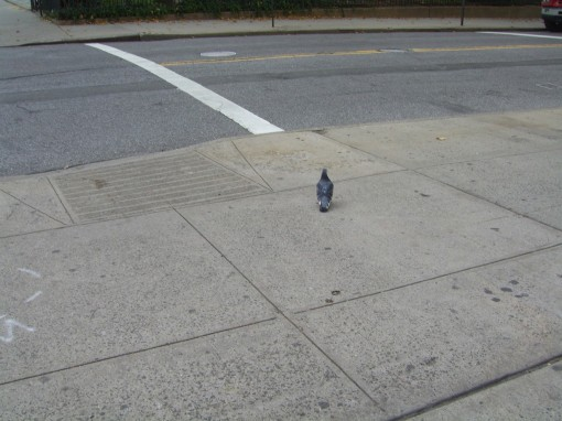 First Day Walking New York City cricketdiane - Pigeon in NYC awaiting the walk across signal